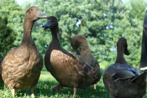 duckers2