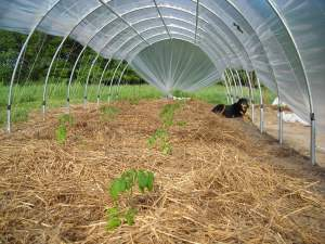 Tomatoes Growing Inside the Hoophouse