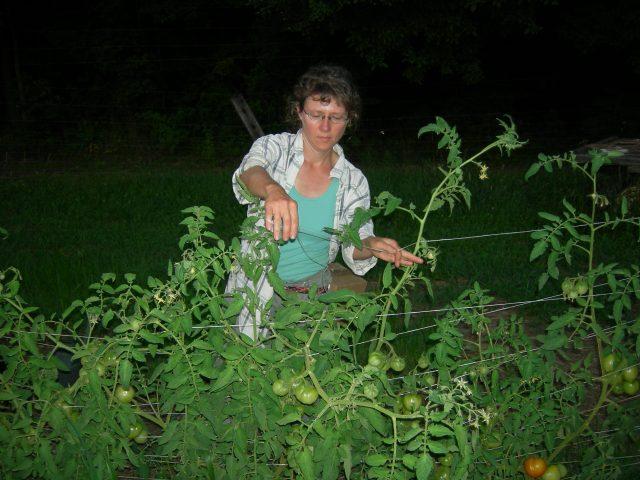 Trellising tomatoes