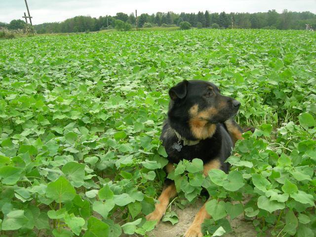 Bud in the buckwheat