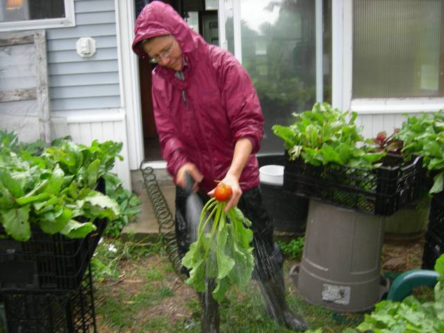 Washing beets in Wednesday's rain