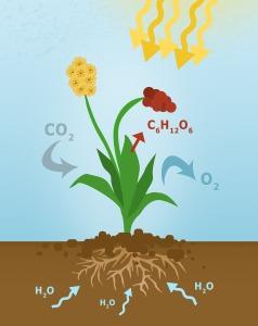 photosynthesis-3498260_1920